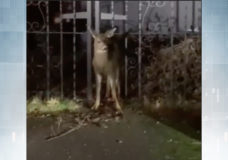 WATCH: West Shore RCMP rescue fawn stuck in iron fence
