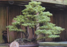 Saanich Police searching for stolen Bonsai trees