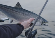 Recent federal policy ties up Victoria Chinook fishery for the indefinite future