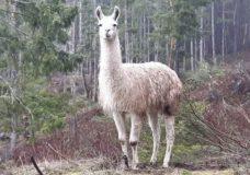 Missing llama that served as mascot for Island gun range found dead