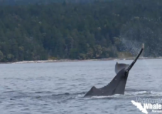 Humpback mother and calf fend off orca attack in wild video captured off Nanaimo