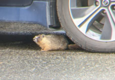 'It's an unusual creature': Sightings of Yellow-bellied marmot spark hunt in Nanaimo