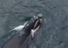 North Pacific Right Whale spotted feeding near Haida Gwaii