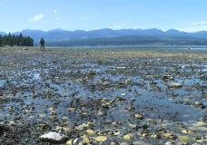 'It basically cooked the oysters': Baynes Sound shellfish industry reeling after heat wave