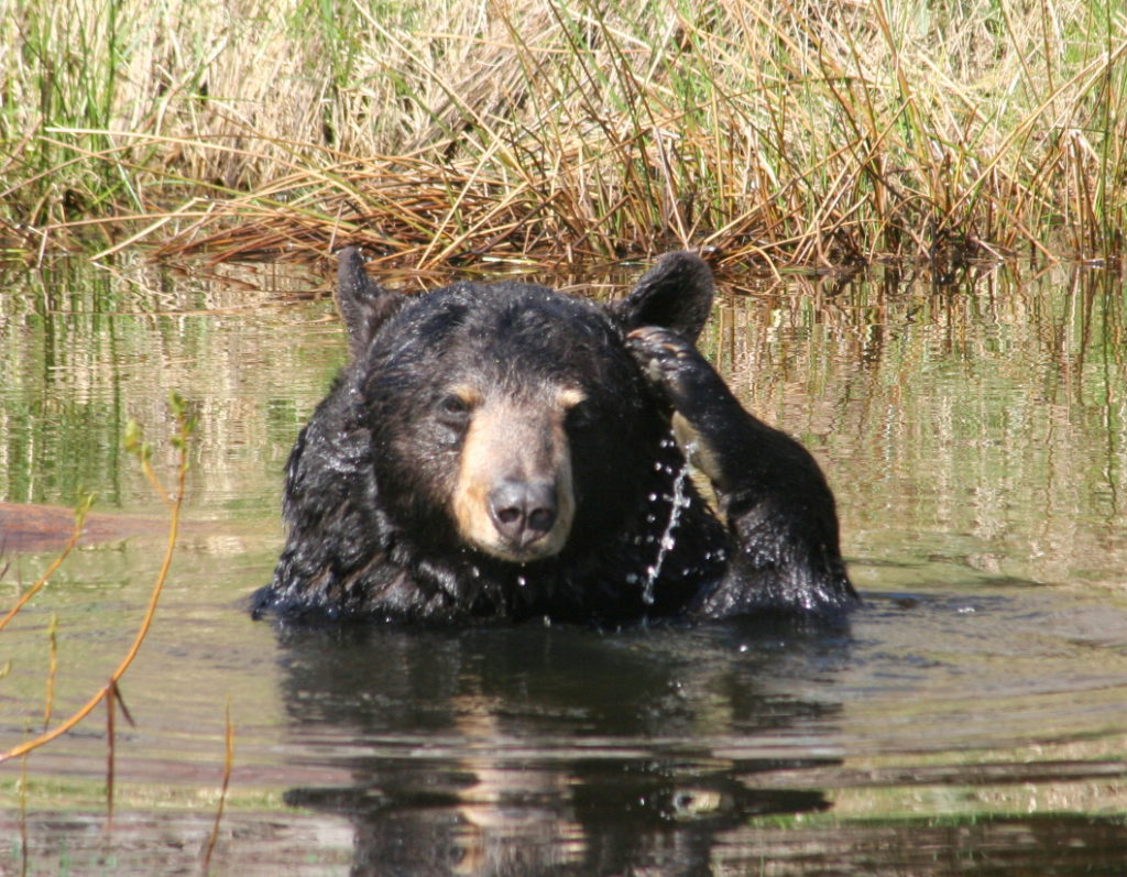 Beloved North Island Wildlife Recovery Centre bear passes away, leaves lasting legacy
