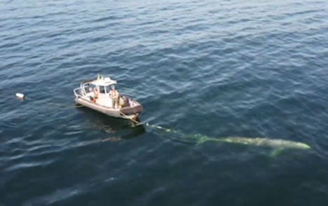Drone footage captures grey whale rescued near Vancouver Island