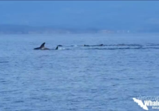 Humpback mother and calf swim up to Nanaimo boat in 'coolest whale encounter ever'