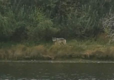 'It was pretty magical': Video surfaces of wolf spotted at Esquimalt Lagoon
