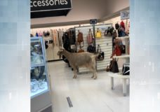 Goat amuses Island shoppers by visiting Winners, Walmart in Courtenay