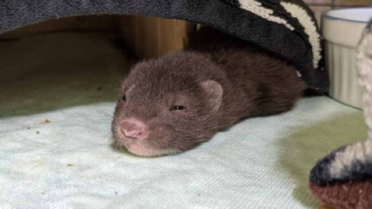 Wild ARC caring for baby mink that was found crying alone