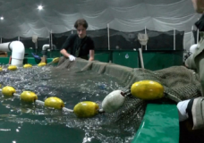 Nanaimo company is raising salmon on land with 'first ones in the world' technology