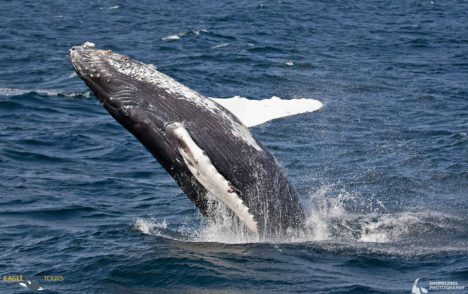 Record number of humpback whale calves born to Salish Sea population: researchers